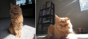 Two photos of the author's cat, an orange long-haired tabby.